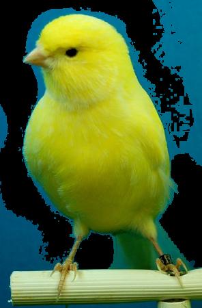 Kanariefåglar larmar med skönsång Kanariefågeln har inte bara tjänat mänskligheten som larm och beskyddare av gruvarbetare med sin större känslighet för gruvgaser. Redan under 1500-talet blev kanariefågeln en populär burfågel där det främst var fågelns sköna sång och munterhet som gjorde den till en symbol för lyx bland världsvana adelsdameroch rika borgare.